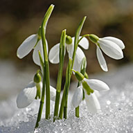 Snowdrops in Norfolk