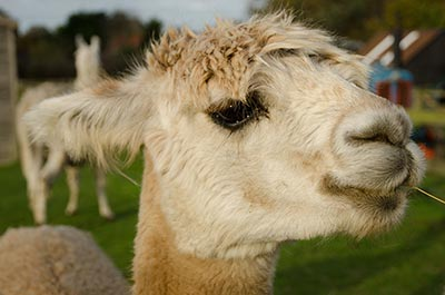 Alpaca, West Runton