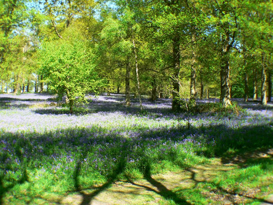 Bluebells in Blickling Park woods