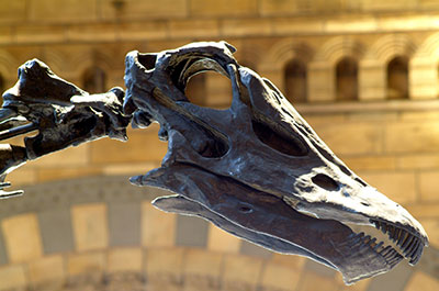 The skull of the Diplodocus housed at the Natural History Museum, London. Copyright: Natural History Museum