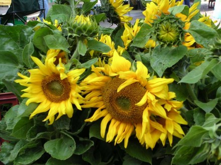 Sunflowers at Fakenham Farmers' Market