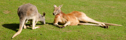 Kangaroos at Banham Zoo, Norfolk