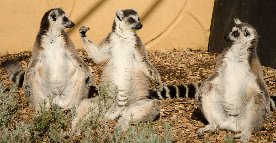 Ring-tailed lemurs, Banham Zoo, Norfolk