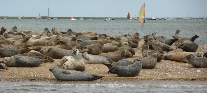 Common and Grey Seals can be seen basking on the end of Blakeney Point