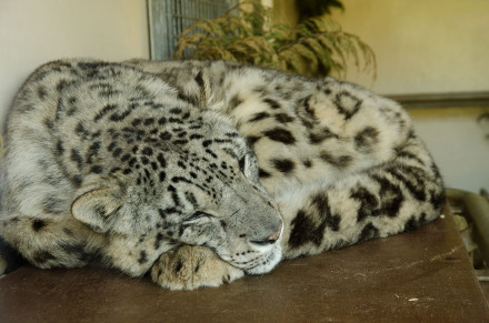 Snow Leopard at Banham Zoo, Norfolk