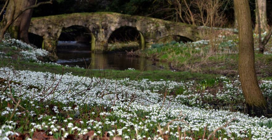 Snowdrops at Walsingham, Norfolk