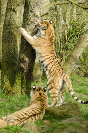 Tigers at Banham Zoo, Norfolk